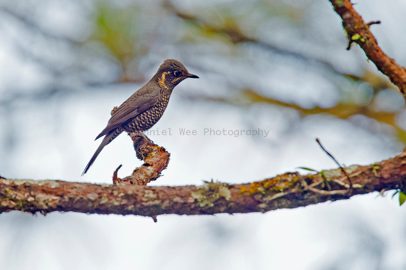 Rufous-bellied Rock Thrush Female