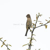 Common Rosefinch Bunting Female