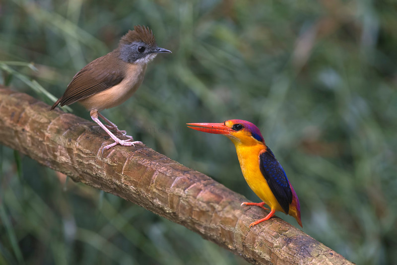 Short-tailed Babbler and Black-backed Kingfisher