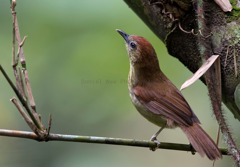 Pin-stripped Tit-babblers