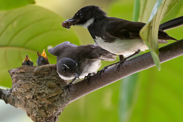 Chats and Fantails (2 Species)