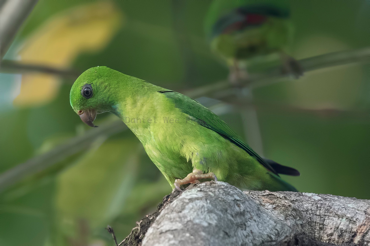 Blue-crowned Hanging Parrot (Female)