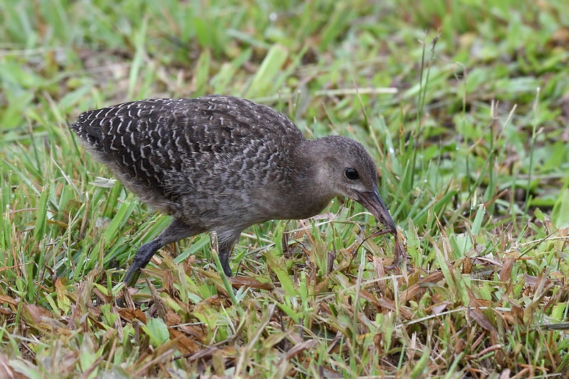Slaty-breasted Rail (Female)