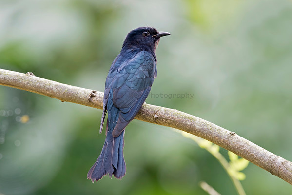 Asian-Drongo Cuckoo