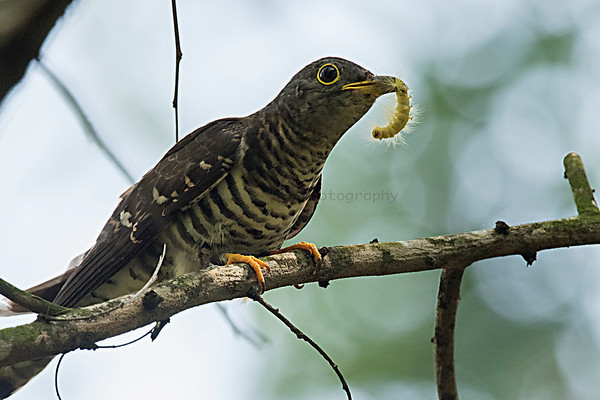 Indian Cuckoo (Food in mouth)