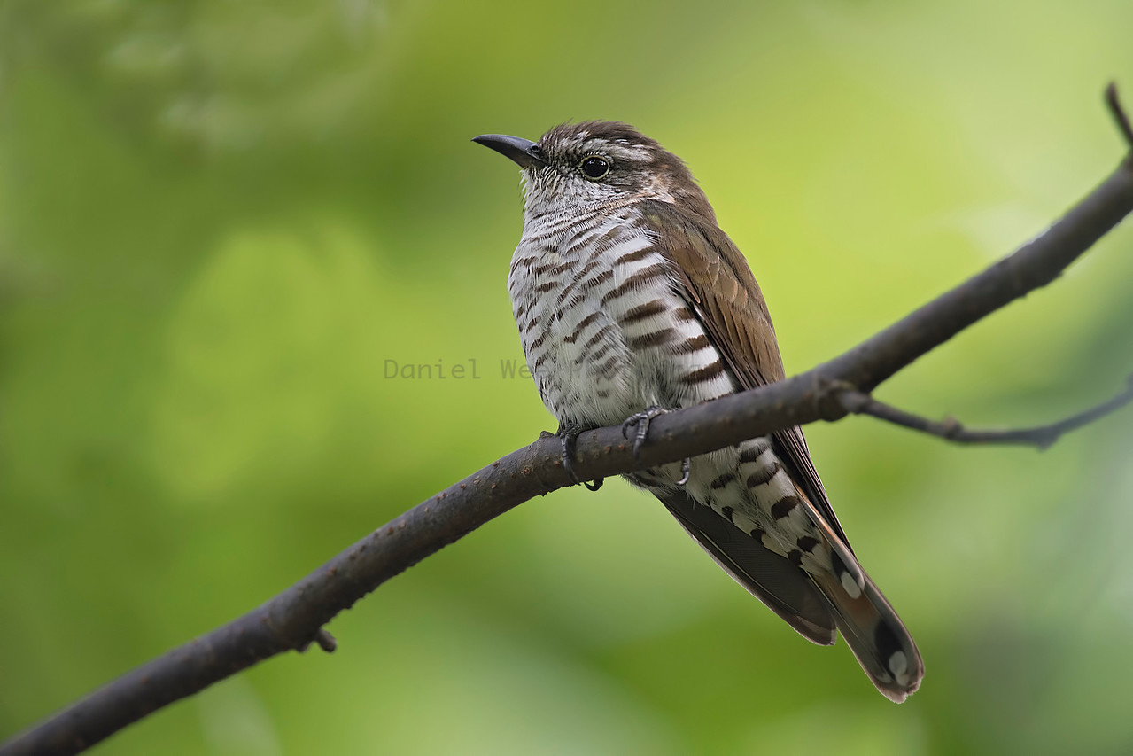 Little-Bronze Cuckoo (Female)