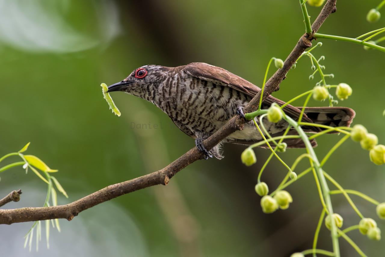 Little-Bronze Cuckoo (Male)