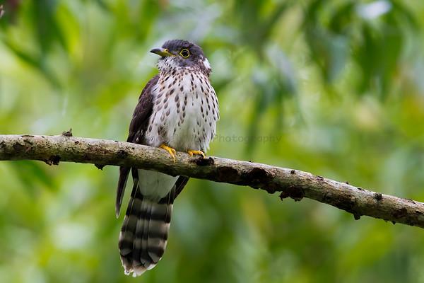 Cuckoos (13 Species)