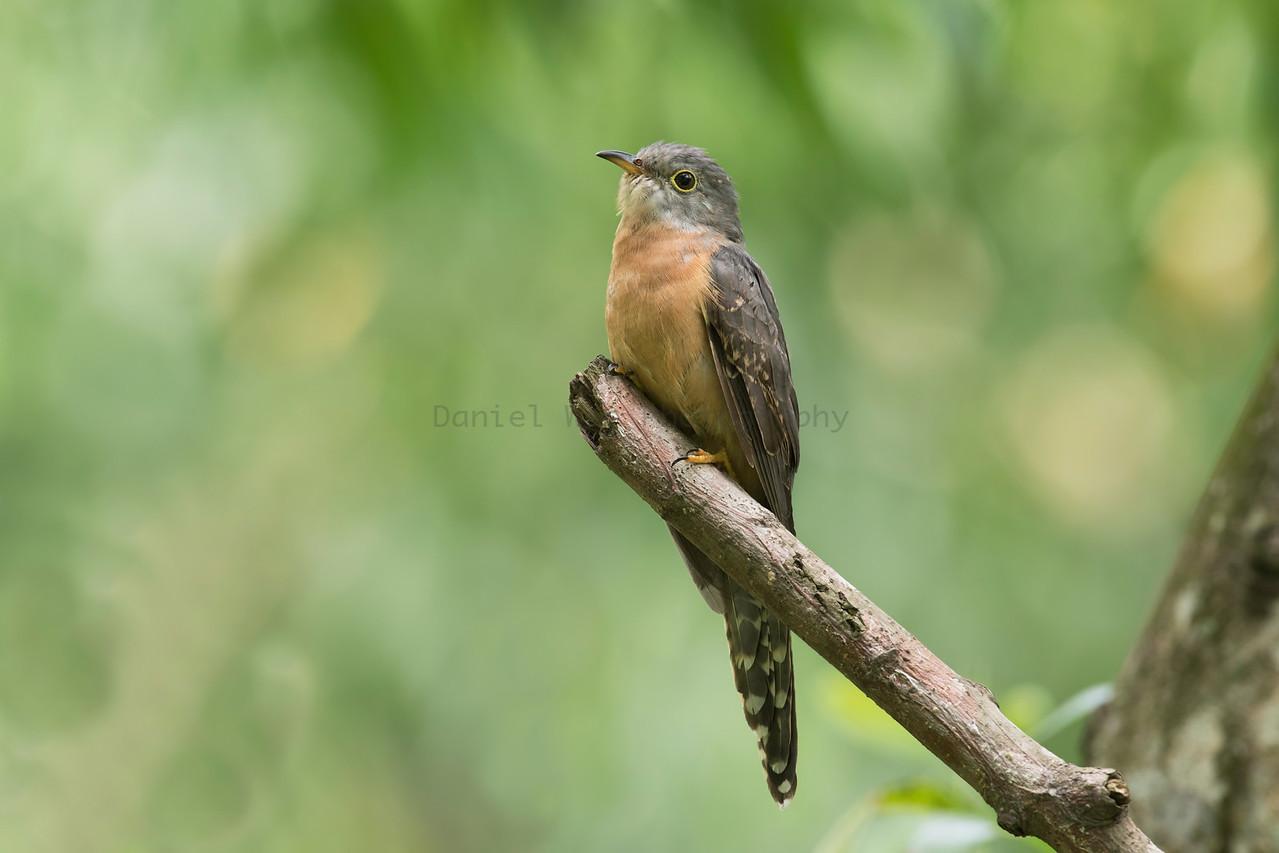 Rusty-breasted Cuckoo