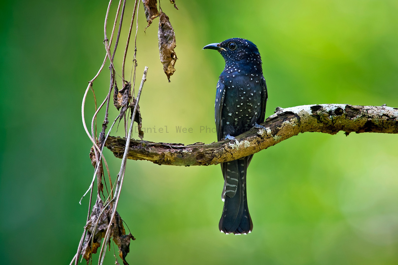 Square-tailed Drongo Cuckoo (Juvenile)