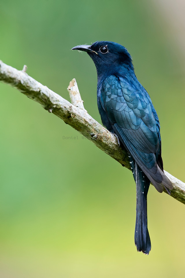 Square-tailed Drongo Cuckoo (Adult)