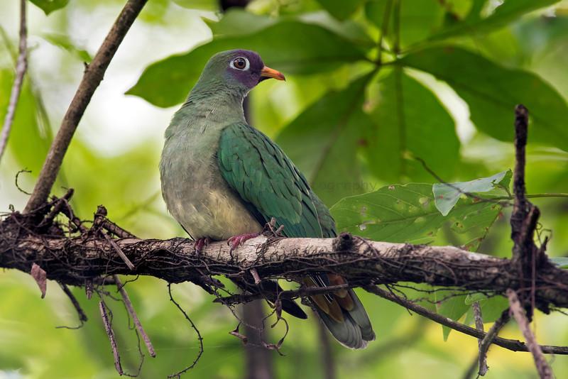 Jumbu Fruit Dove
