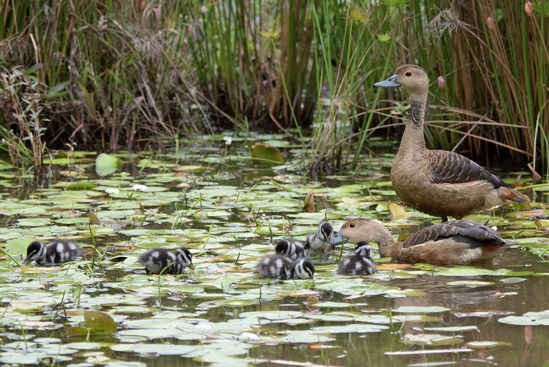 Lesser Whistling Ducks and Ducklings