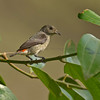 Scarlet-backed Flowerpecker (Female)