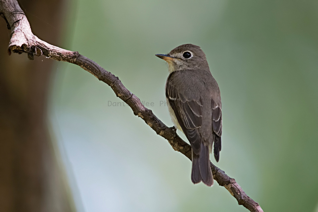 Asian-brown flycatcher