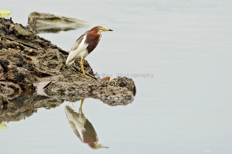Pond Herons