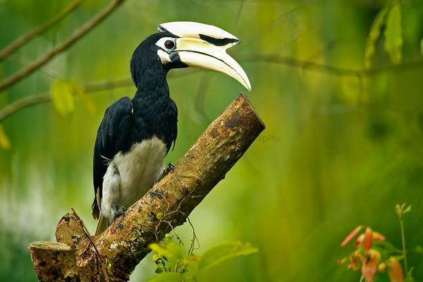 Hornbills (1  Species)