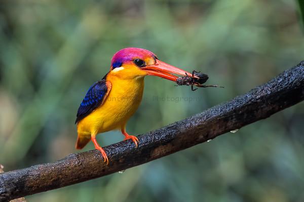 Kingfishers (6 Species)