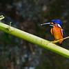 Blue-eared Kingfisher (Male)