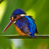 Blue-eared Kingfisher (Female)