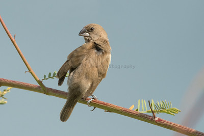 Scaly-breasted Munia (Female)