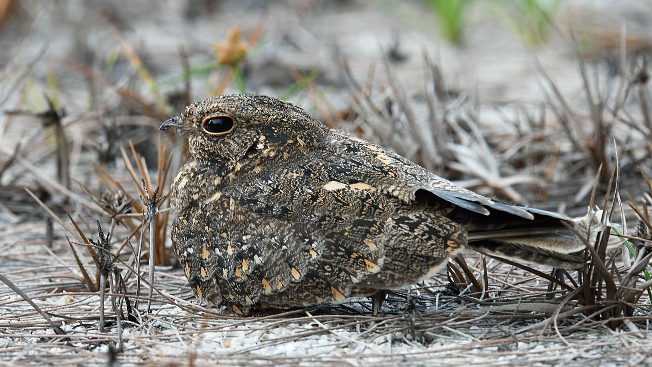 Savanna Nightjar