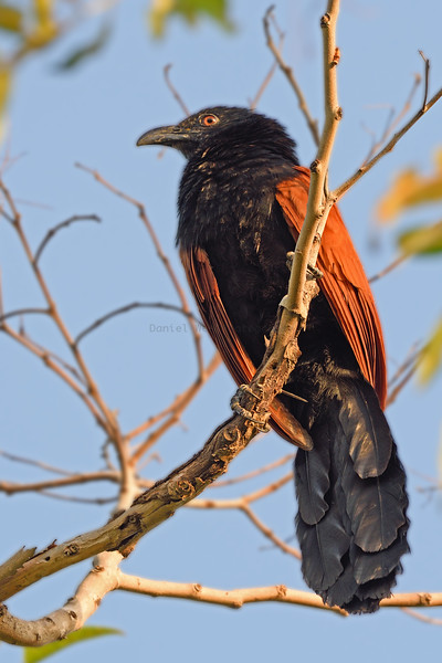 A record shot of the Greater Coucal