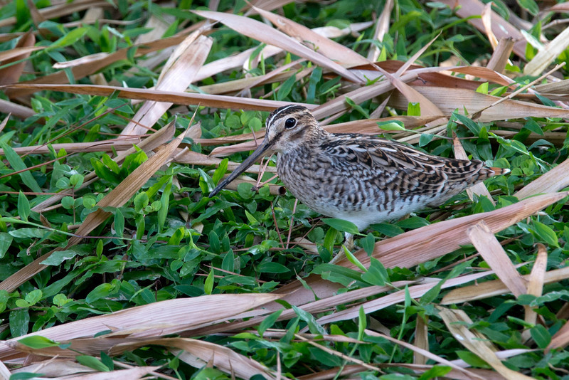Pin-tailed Snipes