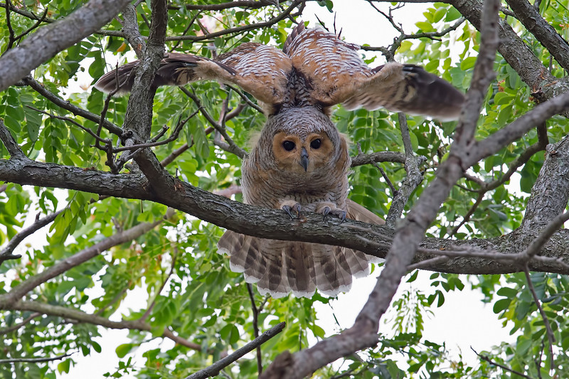 Spotted-Wood Owl