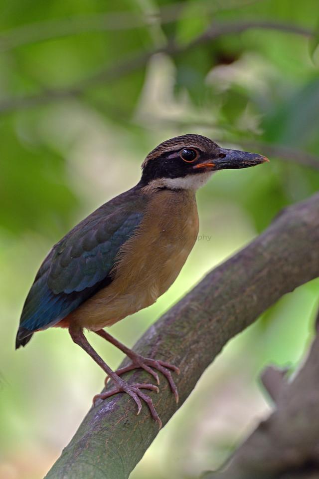Mangrove Pitta (Sub Adult, Juvenile)
