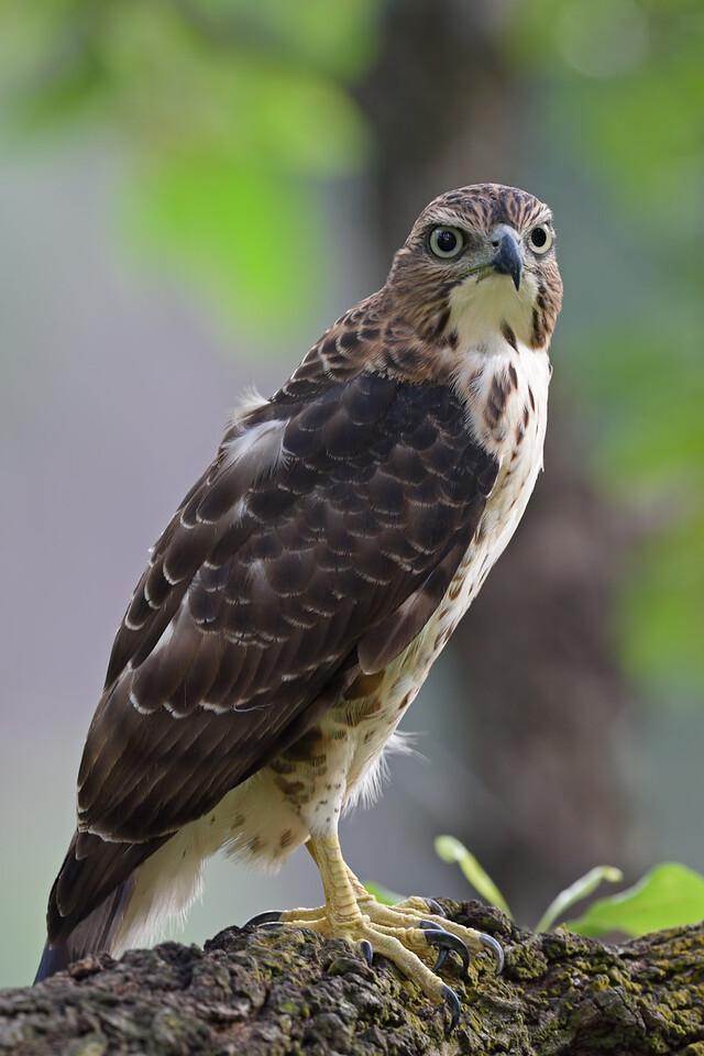 Crested Goshawk (Juvenile)