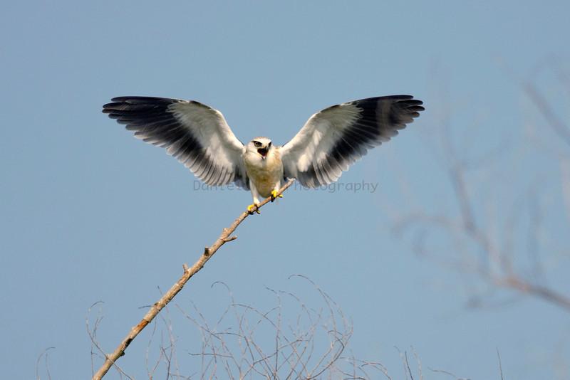 Black-Shouldered Kites