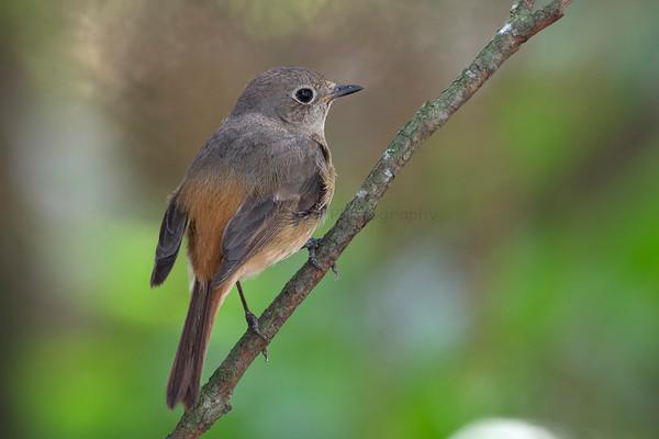 Redstart (1 Species)
