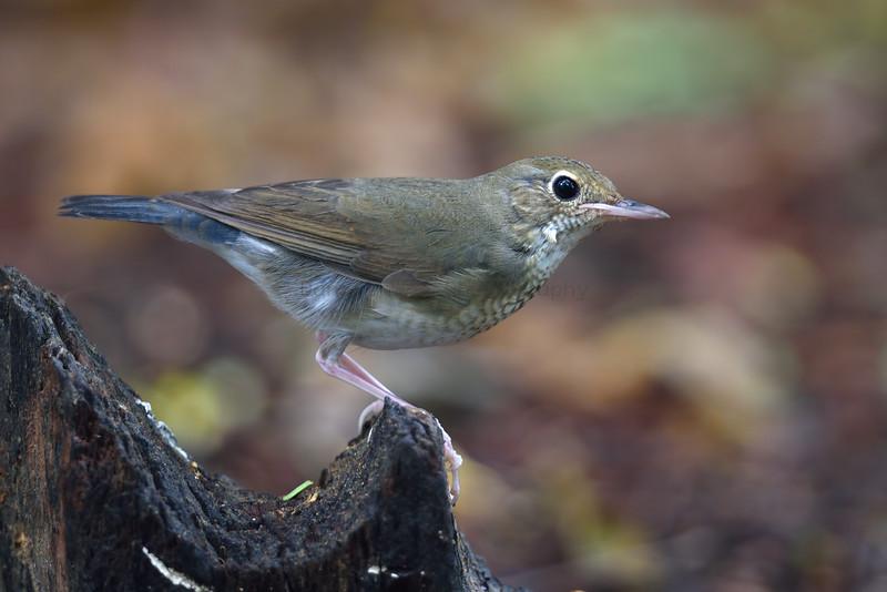 Siberian Blue-Robin