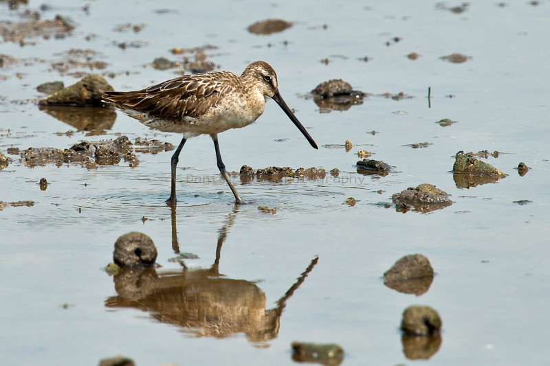 Asian Dowitcher