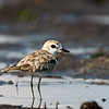 Malaysian Plover (Female)