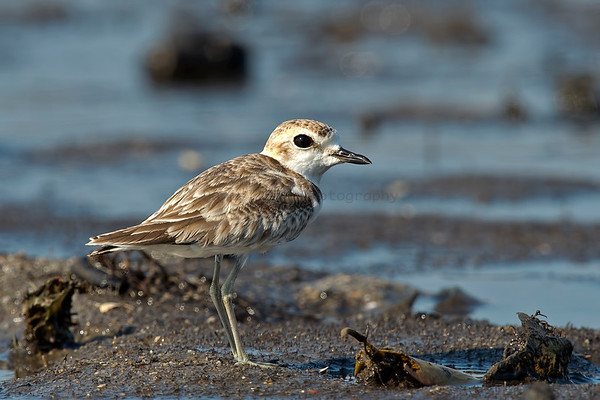 Shore birds (16 Species)