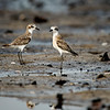 Sand Plovers - A Pair