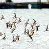 Sand Plovers in flight