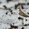 Sand Plover