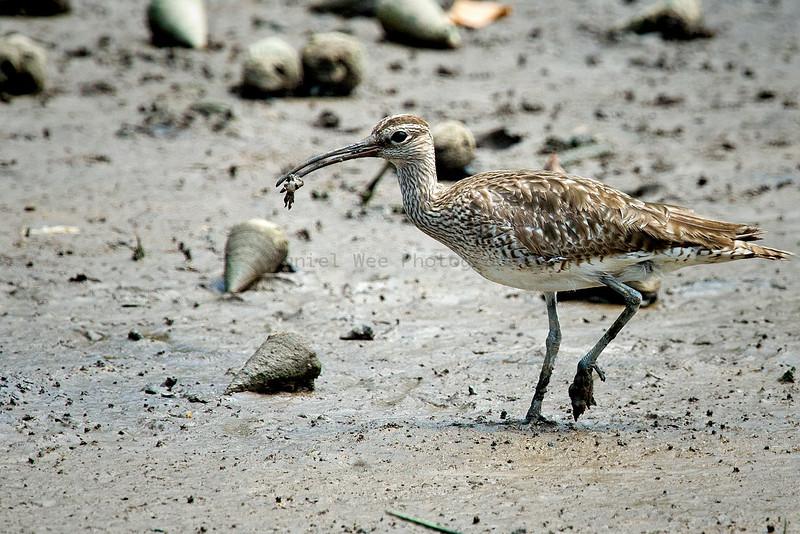 Migratory - Common
