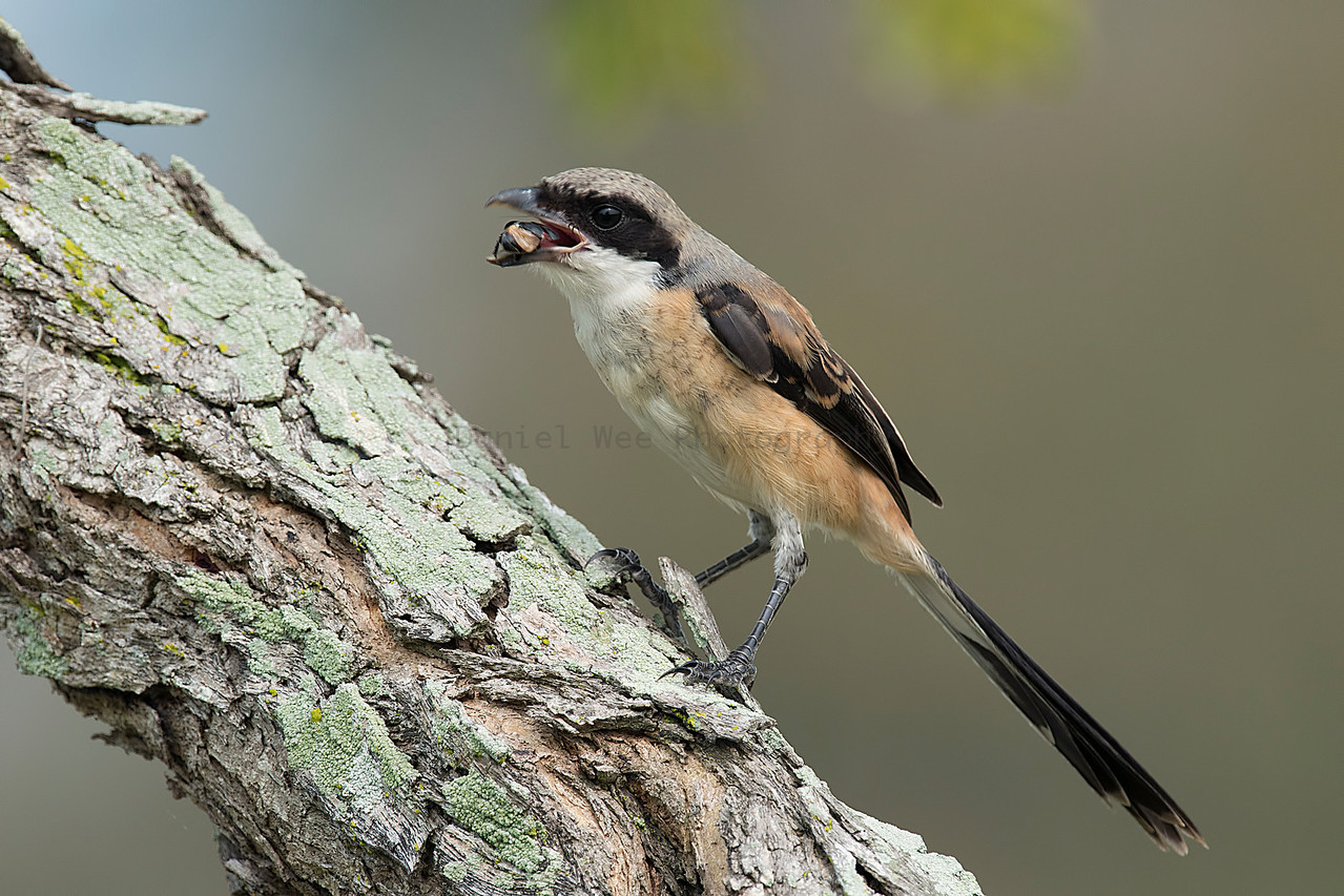 Long-tailed Shrike (Juvenile)