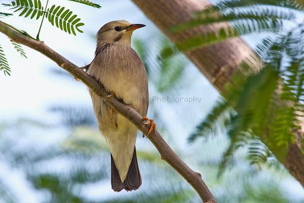 Starlings (3 Species)