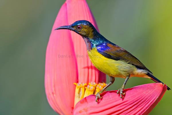 Sunbirds (5 Species)