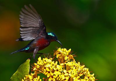 Purple-throated Sunbird Male