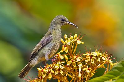Purple-throated Sunbird Female