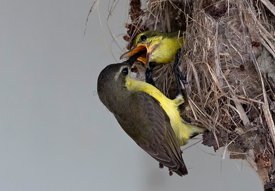 Olive-backed Sunbird (Nesting)