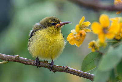 Olive-backed Sunbird (Juvenile)
