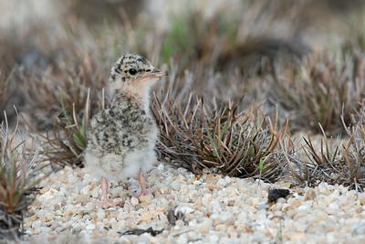 Little Tern (Baby)