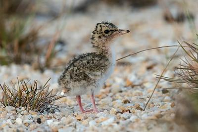 Little Terns (Baby)